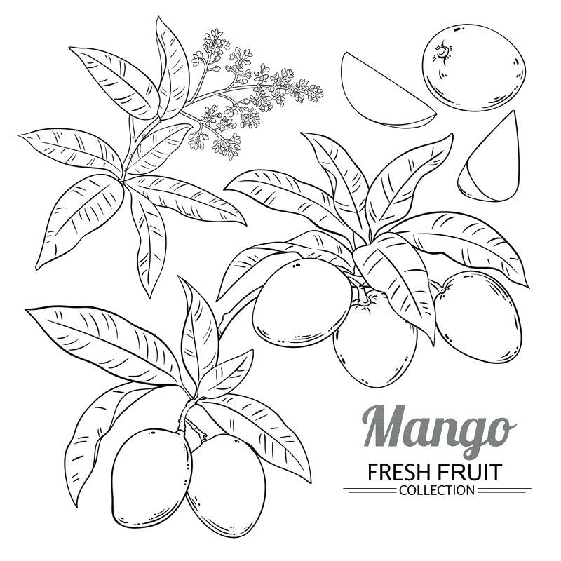 Tranh tô màu các giai đoạn phát triển của quả xoài