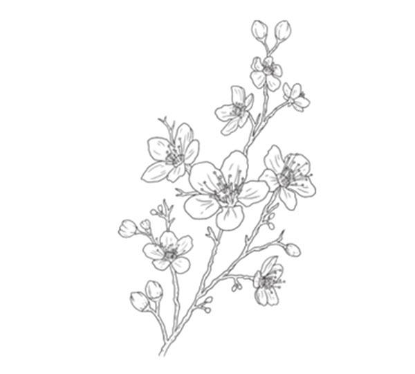 Tranh tô màu cành hoa đào