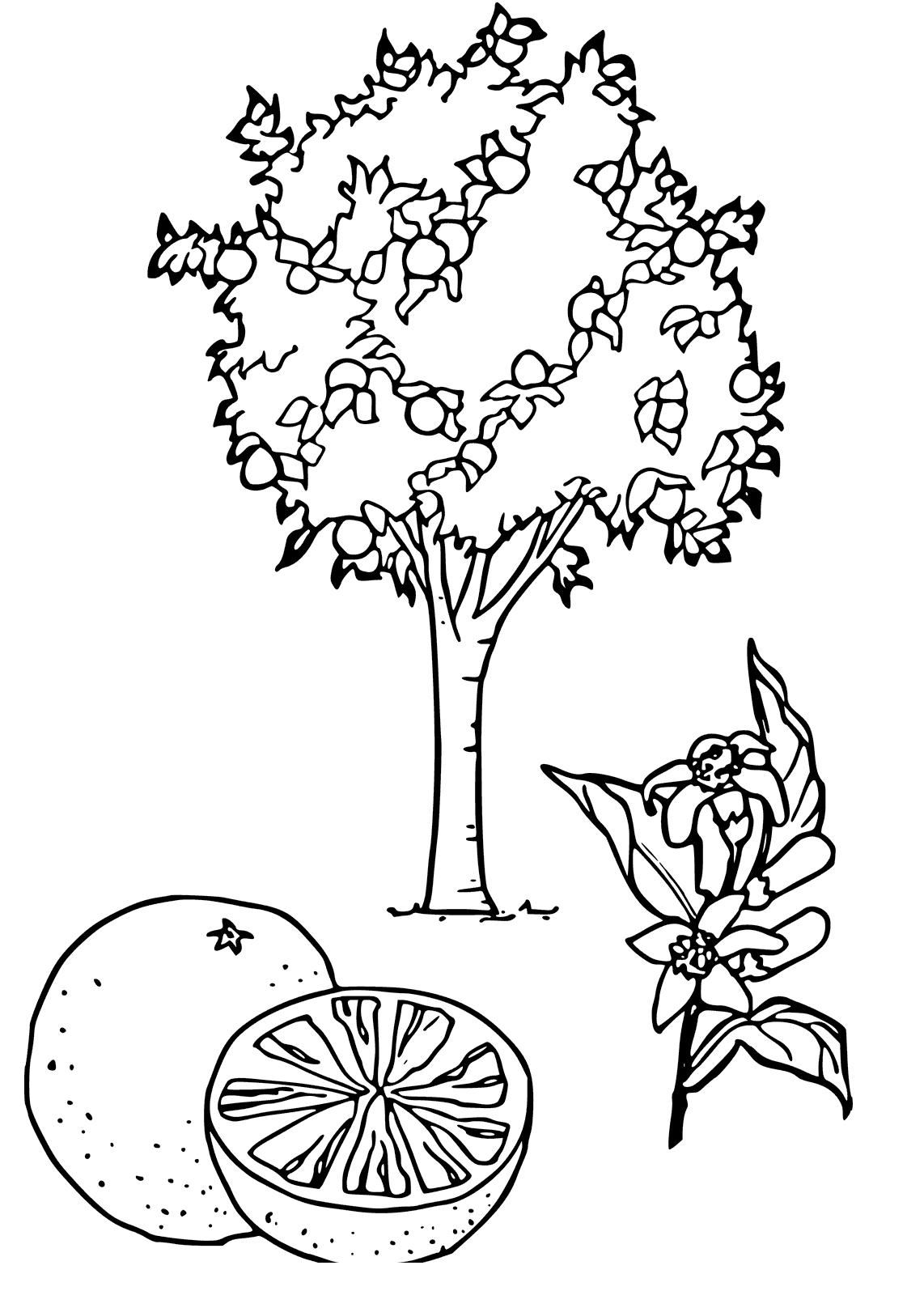 Tranh tô màu cây cam phát triển