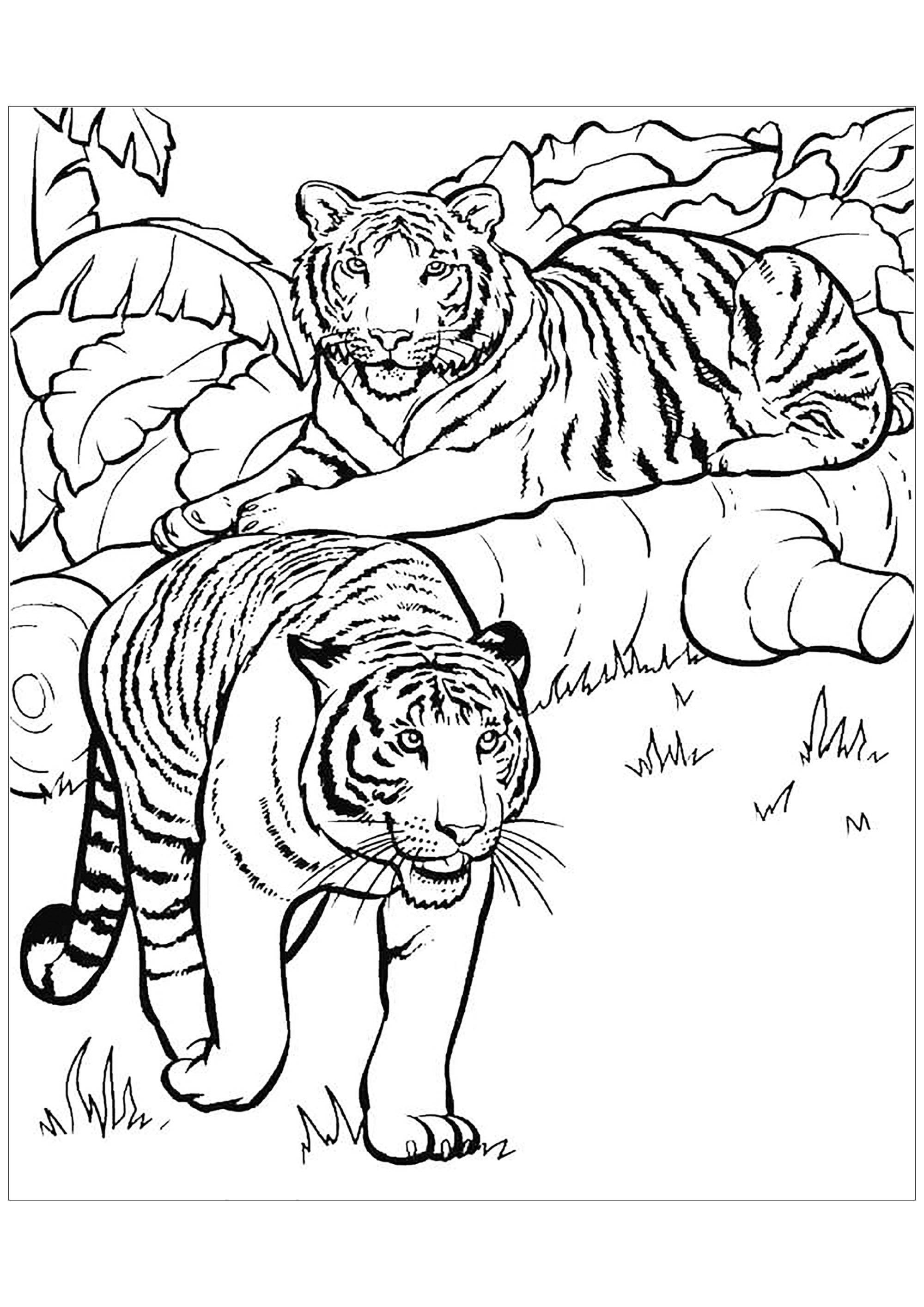 Tranh tô màu hai con hổ rất đẹp