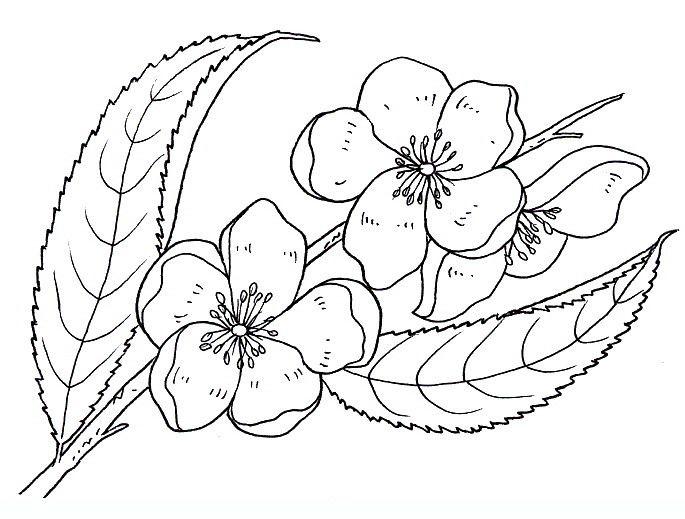 Tranh tô màu hoa đào đơn giản mà đẹp