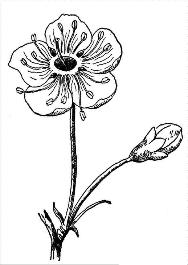 Tranh tô màu hoa đào minh hoạ