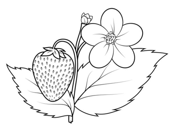 Tranh tô màu quả dâu tây nở hoa